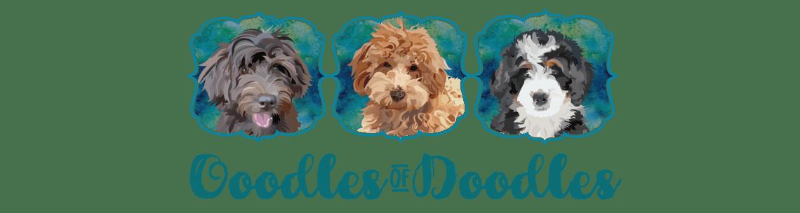 Goldendoodles, Bernedoodles and Aussidoodles