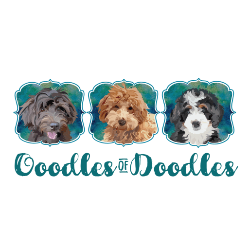 Goldendoodles, Bernedoodles and Aussidoodles